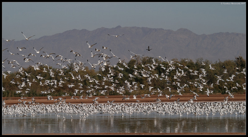 Gulls (mostly ring-billed gulls), Salton Sea, Imperial County, California, November 2009