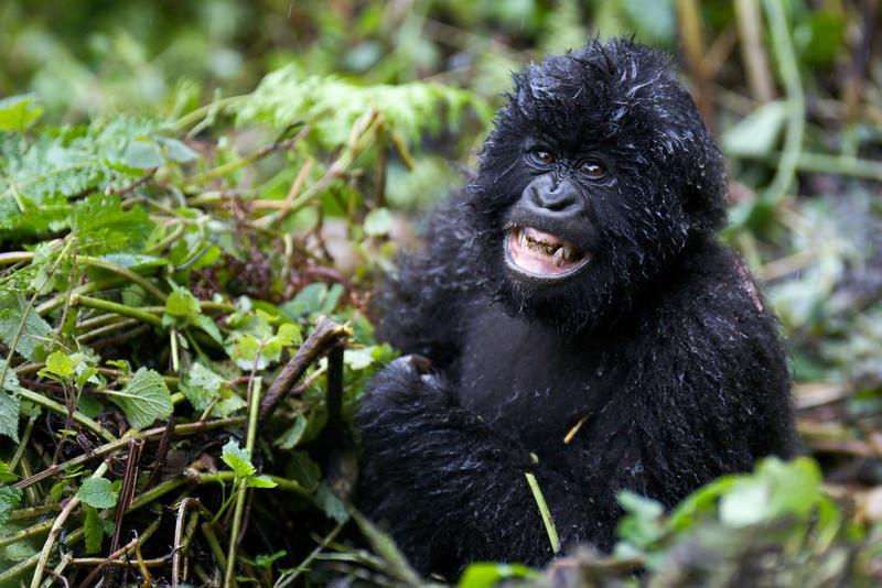 Gorillas  8400.jpg