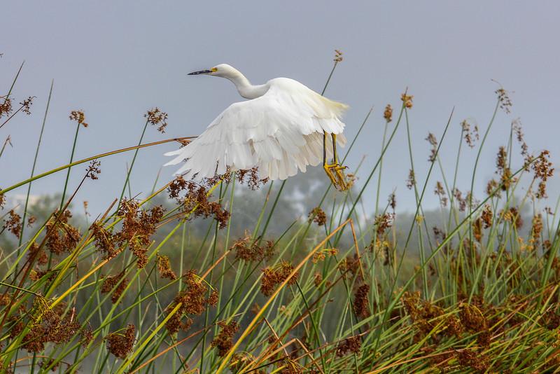 Snowy Egret Takes Flight