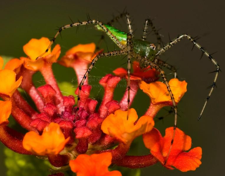 Green SpiderVerbena4759.jpg