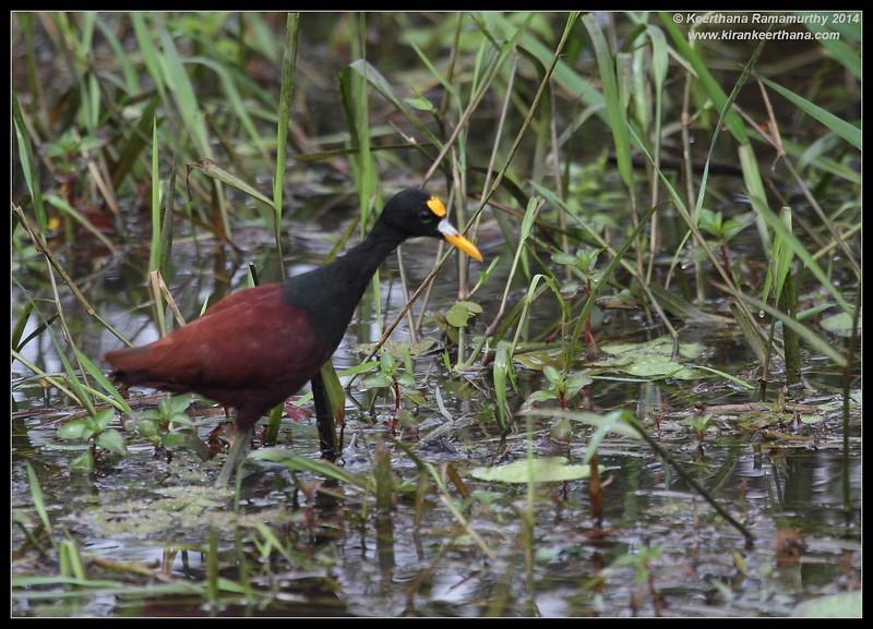 Northern Jacana, Cano Negro Wildlife Refuge, Costa Rica, November 2014