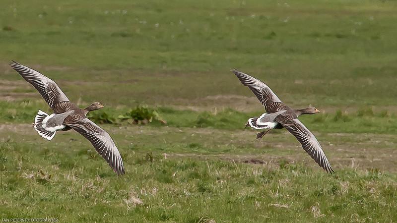 Greylag goose-7832.jpg