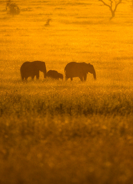 Field-of-gold-elephants-Serengeti-3.jpg