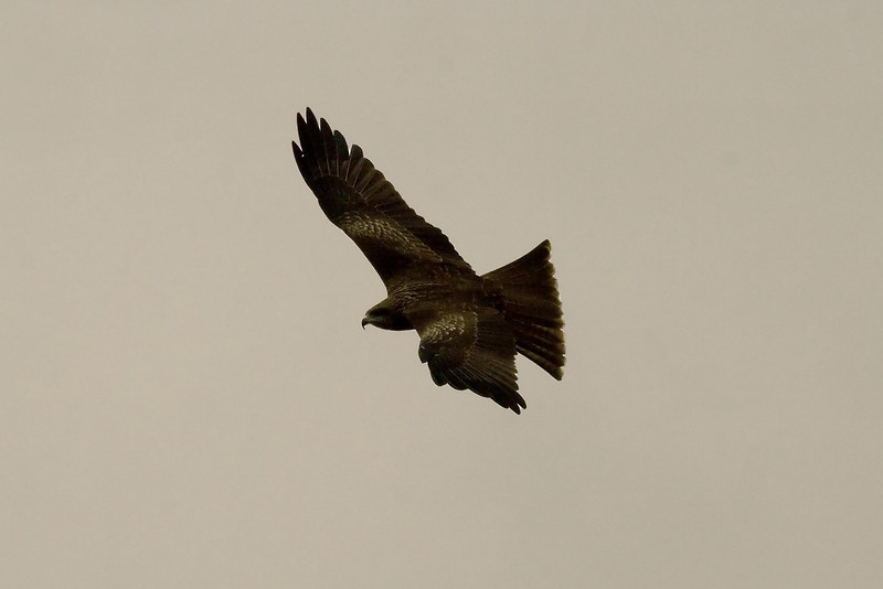 Black Kite (1) at Mai Po, Hong Kong, China (11-8-08).psd
