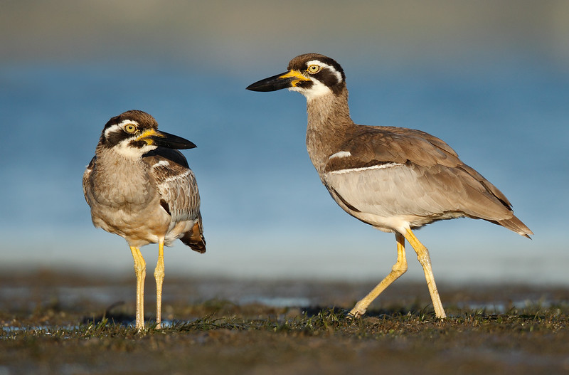 Beach Stone Curlew Adult and young MASTER.jpg