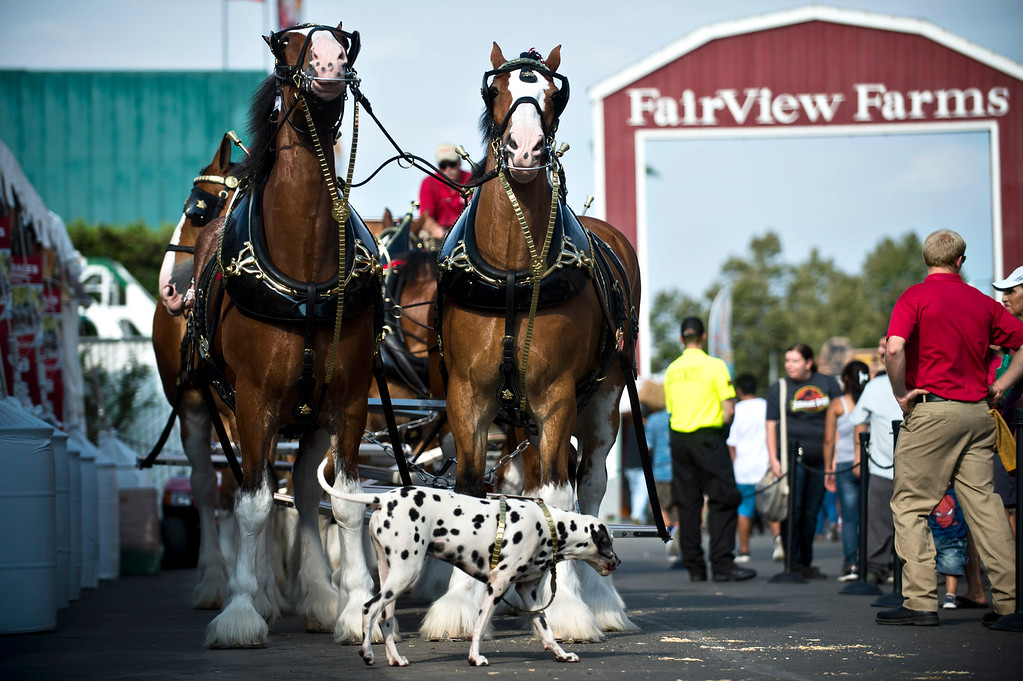 . The Budweiser Clydesdales and the dalmatian lineup for a parade during the opening day of L.A. County Fair in Pomona on Friday, Aug. 30, 2013. (Staff photo by Watchara Phomicinda/ San Gabriel Valley Tribune)