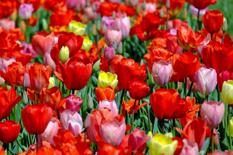 tulips.png