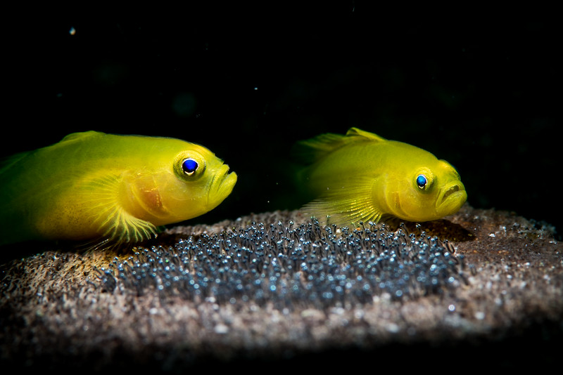lemon gobies and eggs_underwater (1 of 1).jpg