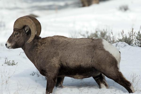 Big horn sheep an other sheep