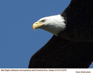 Bald Eagle A23781.jpg