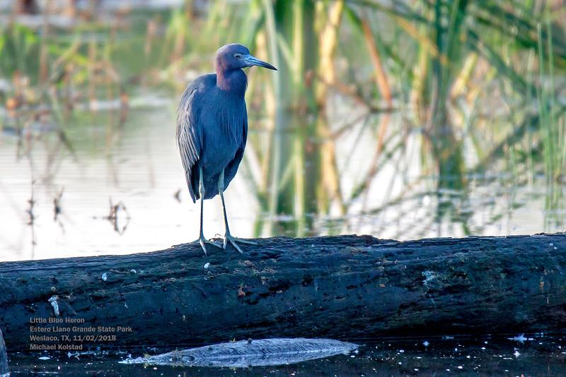 IMG_8922 3T Little Blue Heron Estero LLano Grande St Prk.jpg