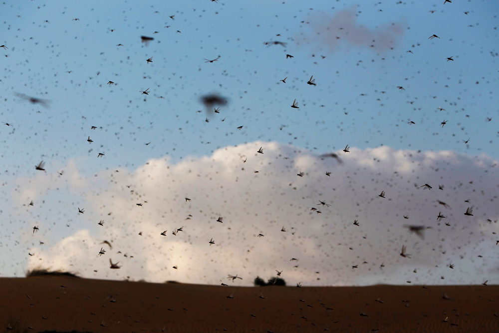 . A swarm of locusts fly near Kmehin in Israel\'s Negev desert March 5, 2013. The Israeli Ministry of Agriculture and Rural Development said on Tuesday that the location of the locusts which crossed into Israel from neighbouring Egypt had been mapped and and they will be fumigated tomorrow. REUTERS/Amir Cohen
