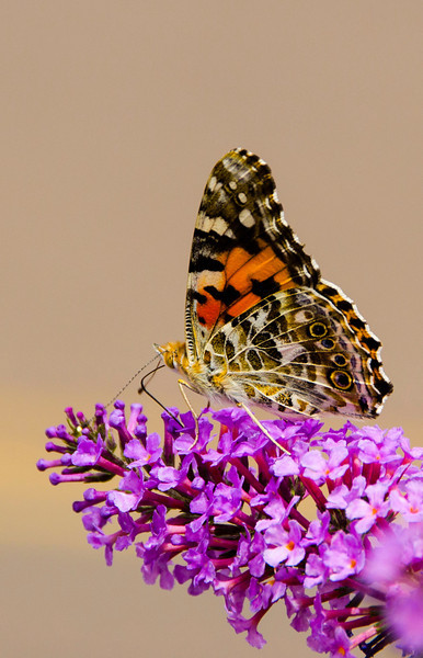 Monarch butterfly on purple flower Payson 2769.jpg