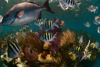 Bermuda Reef life.