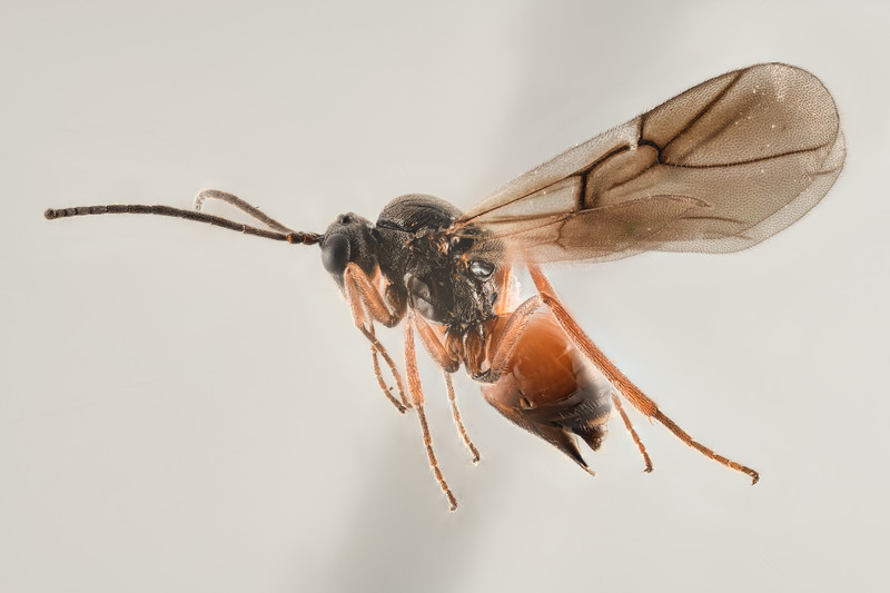 Diplolepis eglanteriae female Malvik