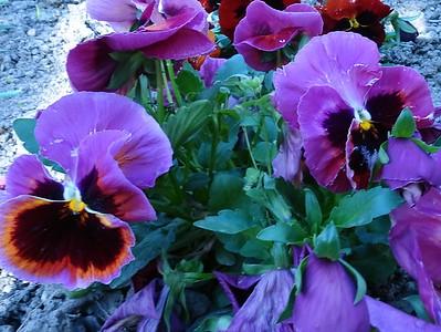 2017.04.17. Kerti virágaink