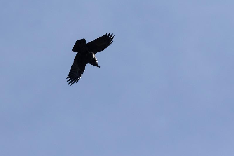 carpathian mountains, bunea lodge, common raven