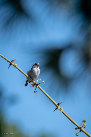 Whydah, Pin-tailed