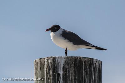 Seagulls-Mobile Bay