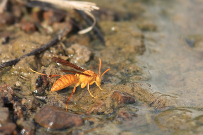 Wasp, Polistes wattii