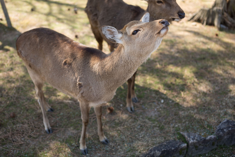"""The deer have learned to """"bow"""" for tourists to get fed more deer biscuits"""