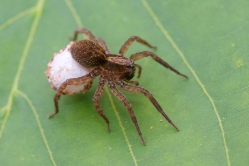 Trochosa terricola egg sac Wolf Spider Skogstjarna Carlton County MN IMG_9429.CR2.jpg