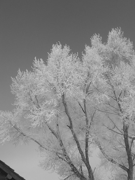 cottonwood frost bw.jpg