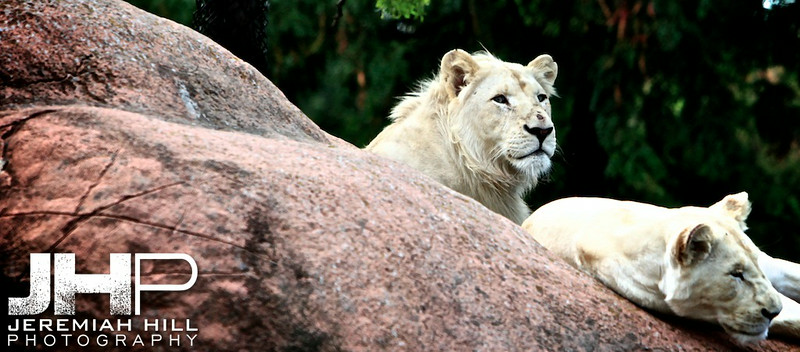 """Lions"", Toronto Zoo, 2013 Print JP13-99-362V2"