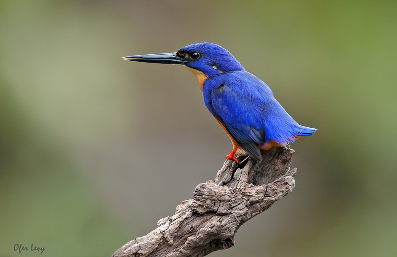 Azure Kingfisher 3.jpg