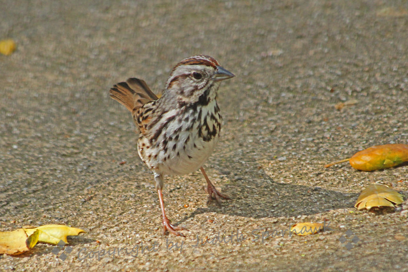 Song Sparrow ~ Taken this week at Descanso Gardens in Southern California.