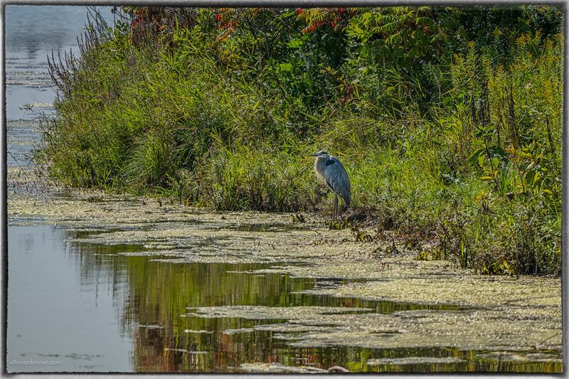 Blue Heron at Beaver Pond in Kanata