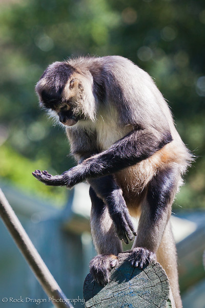 A Spider Monkey at the Calgary Zoo.
