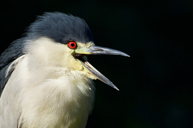 Black-crowned Night Heron in ambient light