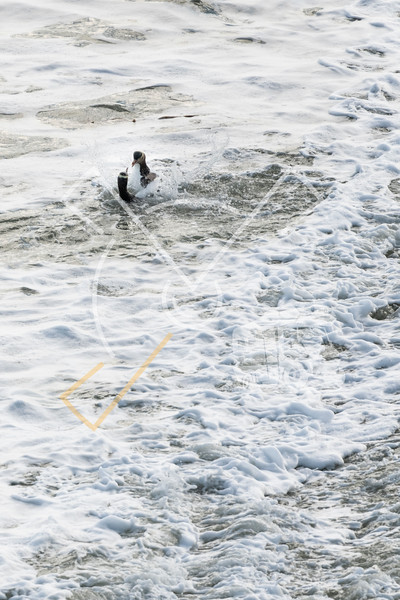 Yellow-eyed penguin couple in the water fluttering and squawking each other at Bushy beach in New Zealand.