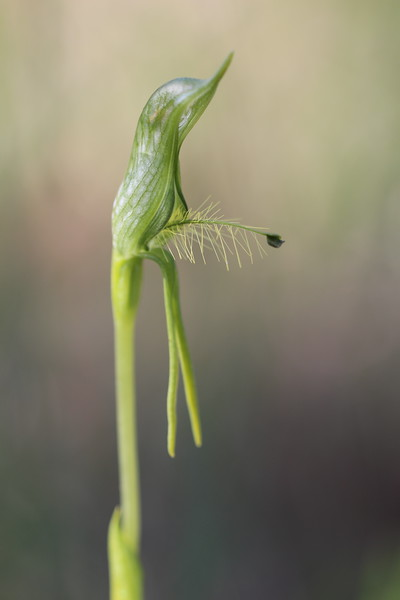 Pterostylis sp aff plumosa7.JPG