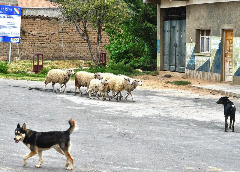 BOV_3242-7x5-Hearding sheep.jpg