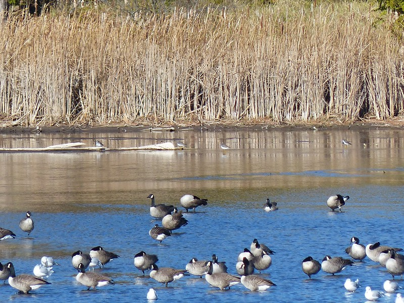 Greater Yellowlegs were found at the far side of the pond and are seen here near centre of photo, in behind the flock of Canada Goose