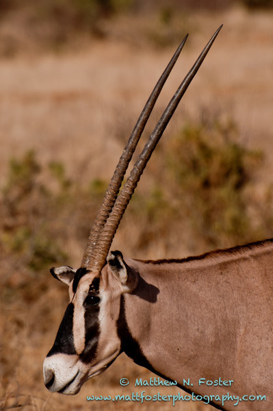 Beisa oryx, Samburu National Park, Kenya
