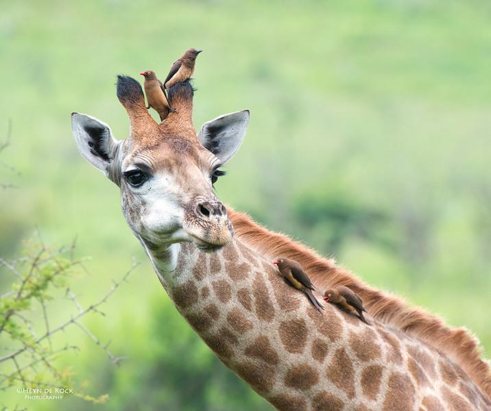 Giraffe and Oxpeckers, Itala NP, KZN, SA Jan 2014-3 copy.jpg