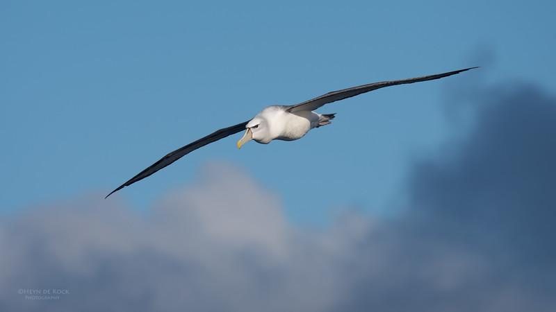 Shy Albatross, Eaglehawk Neck Pelagic, TAS, July 2015-2.jpg