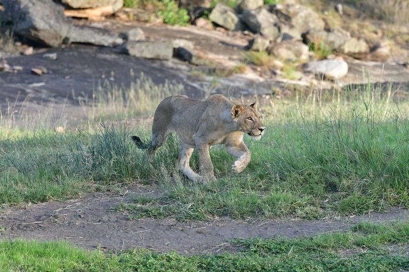 Lioness in Pursuit