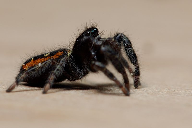 Large Jumping Spider.