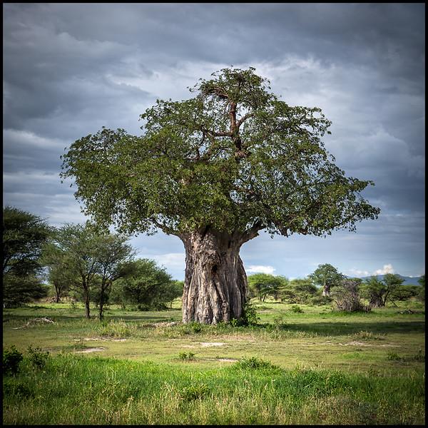 Baobab tree, Tarangire NP