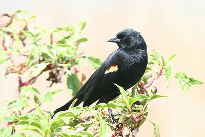 Grackles, Blackbirds & Crows