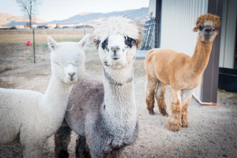 wlc Corinna Porter Alpacas53November 19, 2016.jpg