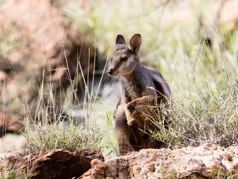 Black-footed Rock-wallaby