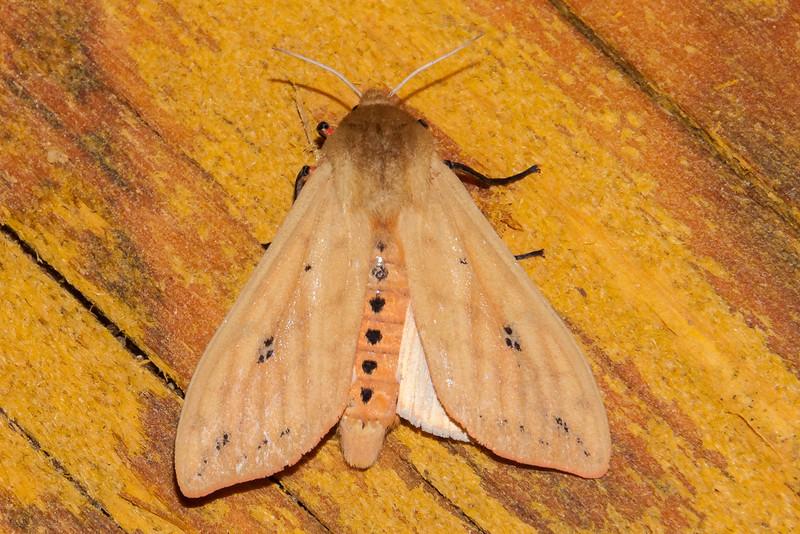 Tiger Moth - Isabella - (Pyrrharctia Isabella) - Dunning Lake - Itasca County, MN
