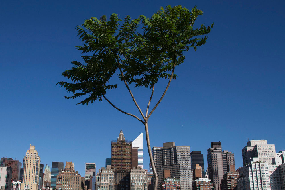 . The Manhattan skyline is seen behind a tree on Roosevelt Island in New York June 4, 2013. World Environment Day is celebrated annually on June 5 to raise global awareness about environmental issues and stimulate political action, according to the United Nations Environment Programme. REUTERS/Zoran Milich