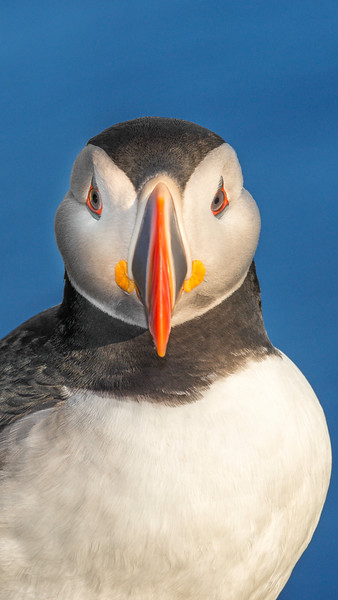 034 Puffin Headon 9x16.jpg