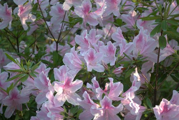 2014/05/03 - Gibbs Gardens Azaleas